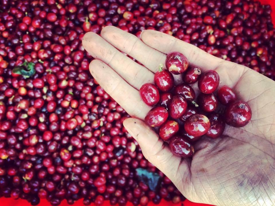 Cà phê Cherry là gì?