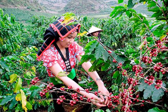 Mua cà phê Culi - gọi 0933 812 058