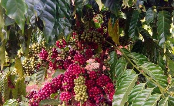 Cà phê Lâm Đồng
